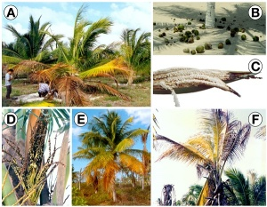 MICO Wars - US$1.174 Billion Market and Why Jamaica and Caribbean facing Coconut Industry extinction by 2020 - 21-06-2016 LHDEER (5)