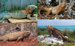 MICO Wars - Iguana Invasion in Cayman Island presents Iguana Meat Export Opportunity - 11-07-2016 LHDEER