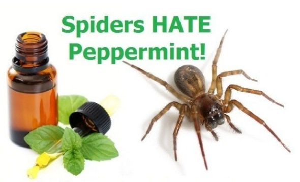 How To Use Mint Oil To Ward Off Mice And Kill Spiders Cockroaches Ants And Wasps Lindsworth Deer S Mico Wars The Teacher Force Awakens